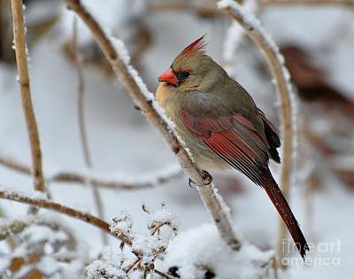 Photograph - Cardinal On Snow-covered Hydraganea by Maureen Cavanaugh Berry