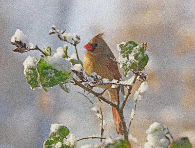 Photograph - Cardinal On Snowy Branch by Sandy Keeton