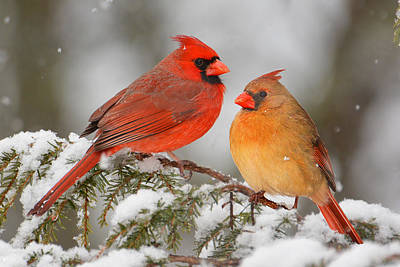 Photograph - Cardinal Pair by Alan Lenk