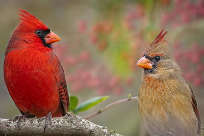 Red Birds Photograph - Cardinal Pair by Bonnie Barry