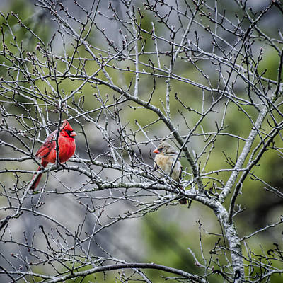 Photograph - Cardinal Pair by Heather Applegate