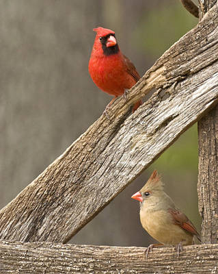 Photograph - Cardinal Pair On An Old Wooden Fence by Robert Camp