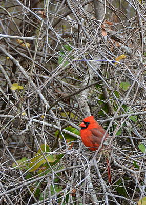 Photograph - Male Cardinal Perched In Tangled Branches by Carla Parris