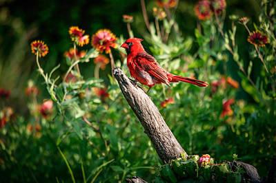 Photograph - Cardinal by Randy Green