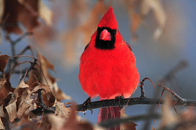 Photograph - Cardinal Rests In Oak Tree by Mike Martin