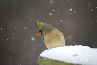 Photograph - Cardinal Snow Bunny by Cris Hayes