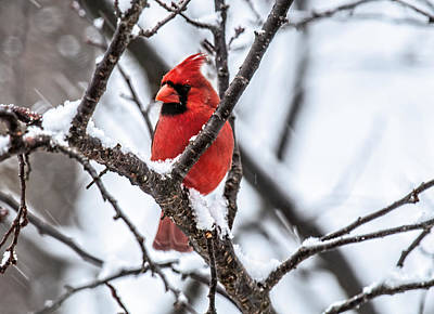 Photograph - Cardinal Snow Scene by Lara Ellis