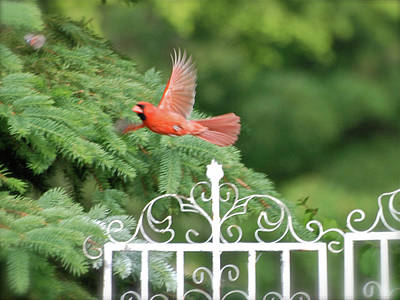 By Thomas Woolworth Photograph - Cardinal Time To Soar by Thomas Woolworth