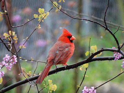 Photograph - Cardinal Watch by Jen Sparks