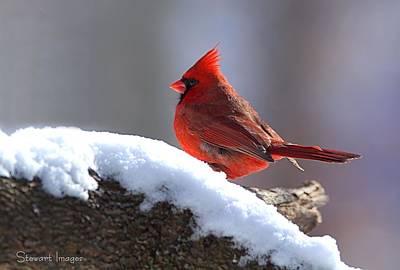 Photograph - Cardinal by William Stewart