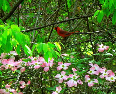 Photograph - Cardinal With Pink Dogwood Blooms by Renee Trenholm