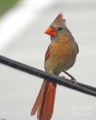 Photograph - Cardinal Young Female by Lizi Beard-Ward