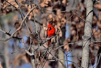 Science Collection Rights Managed Images - Cardinals 68 Royalty-Free Image by Lawrence Hess