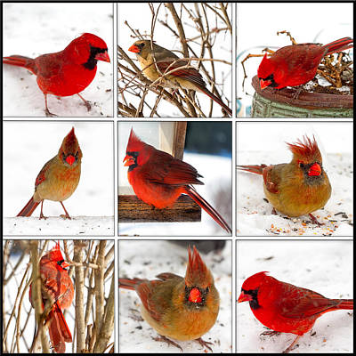 Photograph - Cardinals Collage by Trudy Wilkerson