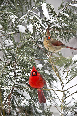 Photograph - Cardinals In Snow by Robert Camp