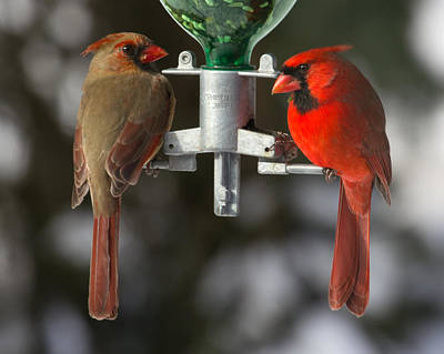 Photograph - Cardinals by John Kunze