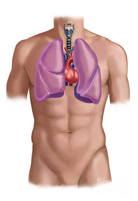 Male Nude Drawing Photograph - Cardiovascular And Respiratory Systems by Spencer Sutton