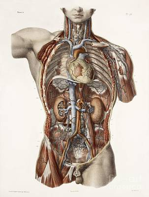 Nicolas Cage Photograph - Cardiovascular System, Historical by Spl