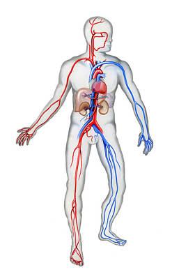 Cardiovascular System, Illustration Art Print
