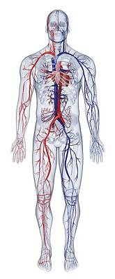 The Human Body Photograph - Cardiovascular System Of The Human Body by Dorling Kindersley/uig