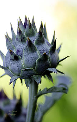 Photograph - Cardoon Waiting To Bloom by Julie Palencia