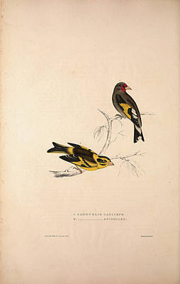 Asian Artist Drawing - Carduelis Caniceps, Grey-headed Goldfinch by Quint Lox