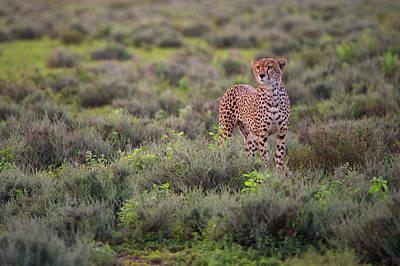 Cheetah Wall Art - Photograph - Careful Pose by Mohammed Alnaser