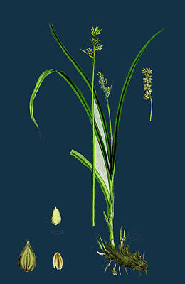 Prickly Drawing - Carex Stellulata Little Prickly Sedge by English School