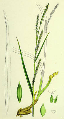 Loose Drawing - Carex Strigosa Loose-spiked Wood Sedge by English School