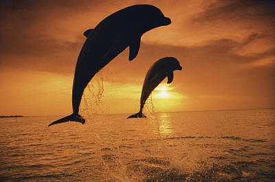 Caribbean, Bottlenose Dolphin (tursiops Art Print