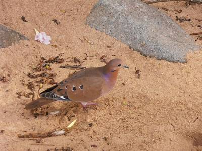 Caribbean Photograph - Caribbean Dove by Kimberly Perry