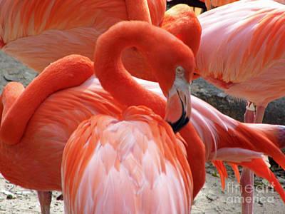 Photograph - Caribbean Flamingos by D Hackett