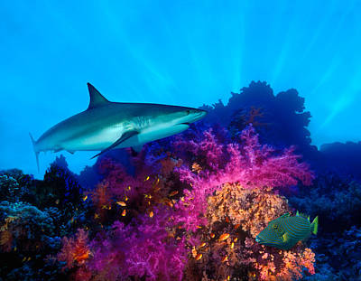 Caribbean Reef Shark Carcharhinus Art Print by Panoramic Images