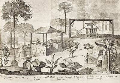 Caribbean Sugar Cane Plantation, 1660s Art Print by British Library