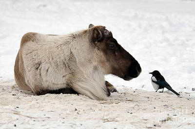 Photograph - Caribou And Magpie by Mark Newman