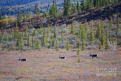 Photograph - Caribou In Alaska by Kate Avery