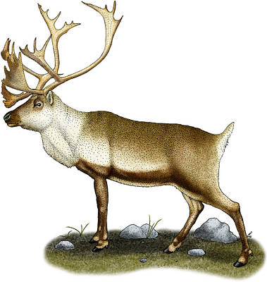 Photograph - Caribou by Roger Hall