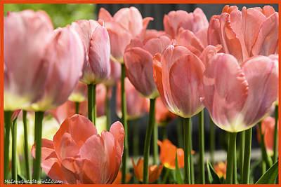 Photograph - Caring Pink Tulip Time by LeeAnn McLaneGoetz McLaneGoetzStudioLLCcom