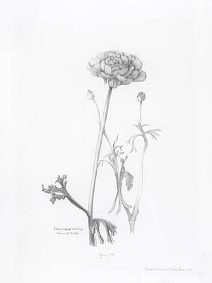 Drawing - Carlsbad Ranunculus by Laura Hamill
