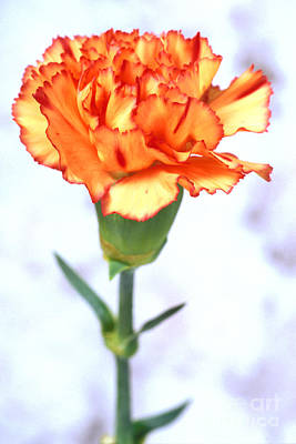 Photograph - Carnation by Carl Perkins
