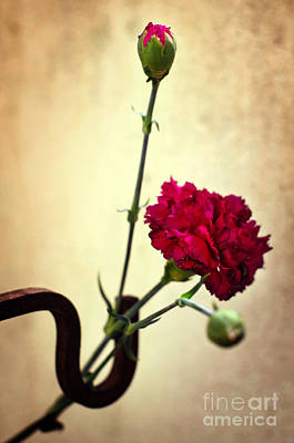 Background Photograph - Carnation by Carlos Caetano