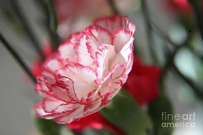 Photograph - Carnation by Lynn England