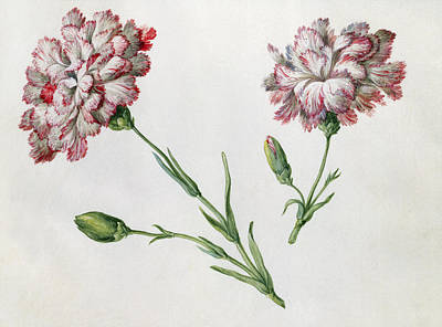 Flowers Watercolor Drawing - Carnations by Claude Aubriet