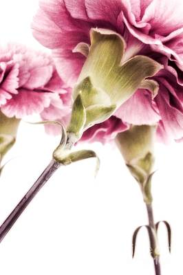 Carnations Art Print by Priska Wettstein