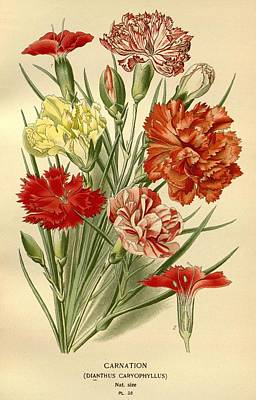 Carnation Drawing - Carnations by Philip Ralley