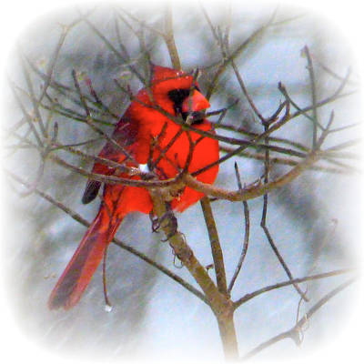 Photograph - Cardinal On Snowy Day by Jean Wright