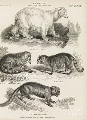 Carnivorous Mammals, 19th Century Print by Middle Temple Library