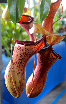 Carnivorous Pitcher Plants Art Print