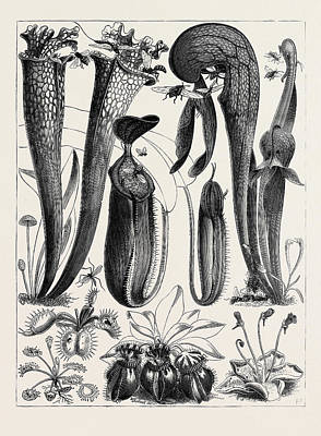 Carnivorous Plants Drawing - Carnivorous Plants In The Royal Botanic Gardens by English School