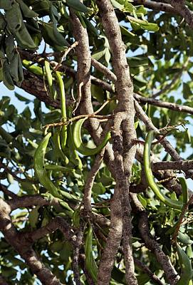 Locust Photograph - Carob Tree (ceratonia Siliqua) In Fruit by Bob Gibbons